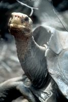 Lonesome George- the last known surviving Pinta Island Tortoise.