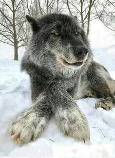 That's a great picture of a beautiful gray wolf Animals And Pets, Funny Animals, Cute Animals, Wild Animals, Baby Animals, Wolf Spirit, Spirit Animal, Beautiful Creatures, Animals Beautiful