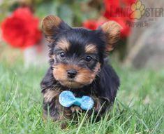 #YorkshireTerrier #Charming #PinterestPuppies #PuppiesOfPinterest #Puppy #Puppies #Pups #Pup #Funloving #Sweet #PuppyLove #Cute #Cuddly #Adorable #ForTheLoveOfADog #MansBestFriend #Animals #Dog #Pet #Pets #ChildrenFriendly #PuppyandChildren #ChildandPuppy #LancasterPuppies www.LancasterPuppies.com