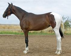A very rare bay pinto Hackney yearling filly, CMS Gypsy Queen. This beauty is is owned by Willow Grove. Find out more here: http://www.willowgroveidaho.com