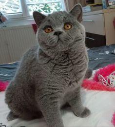 Pisici British Shorthair – Pui british shorthair British Shorthair, Cat Breeds, Panther, Softies, Animals, Gatos, Animales, Cat, Panthers