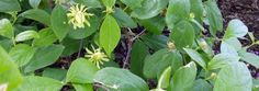 Calycanthus floridus by mgarr