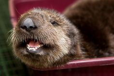 Great photo of a sea otter pup, rescued by the Monterey Bay Aquarium, now in Long Beach.
