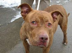 TO BE DESTROYED 2/11/14 Brooklyn Center. My name is JANE. My Animal ID # is A0990769. I am a female br brindle pit bull mix. The shelter thinks I am about 2 YEARS old. I came in the shelter as a SEIZED on 01/31/2014 from NY 11373, owner surrender reason stated was OWN EVICT. https://www.facebook.com/photo.php?fbid=750831604929721&set=a.611290788883804.1073741851.152876678058553&type=3&permPage=1
