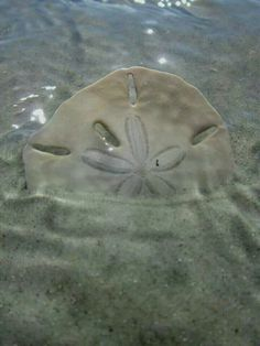 Sand dollar in the surf