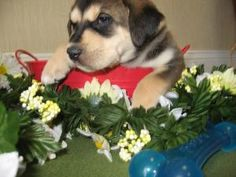 Alpine is a husky/yellow lab mix who is so adorable and will be ready for adoption in April!