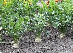 Hogyan termesszünk zellert, hogy gumója is legyen - gazigazito.hu Permaculture, Herbs, Plants, Garden, Farm, Vegetable Garden, Nature, Garden Plants, Gardening Tips