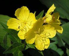 Evening Primrose - nighttime bloomer