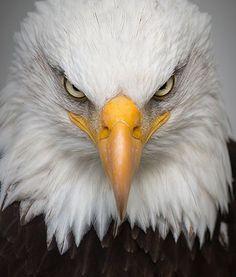 Eagle, Portrait, Wild, Bird, Nature