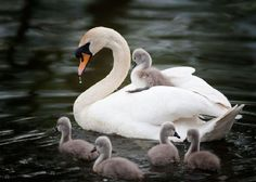 Beautiful swan and cygnets