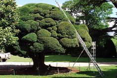"""Yew. Niwaki pruned. """"Owned, and pruned, by an eighty two year old, who puts aside most of August for the annual clip. The original tree was cut back to about 8' in the 1930's, but rather than resprouting, a sucker grew from the bottom, so this version is really about 70 years old. It's been pruned like this for 20 years or so."""""""