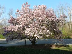 the Tulip Magnolia in the front yard
