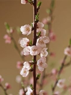 "Peach Blossoms Say ""It's Springtime"" in Niagra Falls, Ontario, Canada"