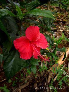 Red Hibiscus #pavelife #garden #flowers