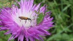 Жизнь насекомых. Кузнечики и жук жрут цветок василёк
