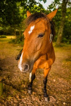A beautiful New Forest pony which can be seen with many others wondering around Hampshire UK