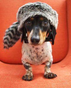 Davey Crockett the dachshund