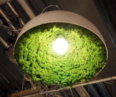Moss growing under a pendant lamp. Love it! Wonder if a diy one would grow.