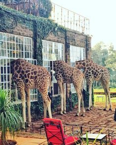 Add this beautiful picturesque manor to your list of reasons to visit East Africa! The Giraffe Manor is a boutique hotel in Nairobi that serves as a home to a group of endangered Rothschild giraffes and is famous for being the only hotel in Kenya where guests can interact with the animals. You li...