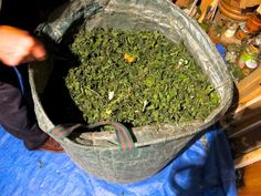 The Sustainable Herb Project is working towards more transparency in the International Herb Trade. Support their campaign and support workers rights, higher quality products and domestic cultivation of medicinals!