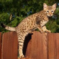 Savannah Cats | Savannah Cat Breed Info & Pictures | petMD