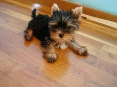 "Figure out more relevant information on ""Yorkshire terrier dogs"". Browse through our internet site. Cute Puppies, Cute Dogs, Dogs And Puppies, Poodle Puppies, Cute Baby Animals, Animals And Pets, Yorshire Terrier, Yorkie Puppy, Teacup Yorkie"