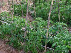 Cuando sembrar y cosechar en tu huerta jardin: Cultivar tomates