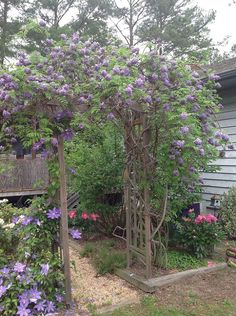 My Wisteria arbor. It is about 4 yrs old. My husband built the arbor.Sharon, it is absolutely fantastic. Love your husbands arbor.