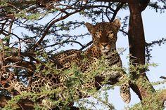 https://flic.kr/p/V4ECAG | A leopard in Samburu National Park