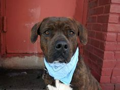 TO BE DESTROYED - 02/23/14 Brooklyn Center -P. My name is JO. My Animal ID # is A0991537. I'm a male br brindle/white pit bull rottweiler mix. The shelter thinks I'm about 5 YRS. Tolerated all handling during his initial intake. Jo will be a gentleman up for hugs and kisses! The time is now for Jo to begin his new tomorrow! https://www.facebook.com/photo.php?fbid=758344290845119&set=a.611290788883804.1073741851.152876678058553&type=3&theater