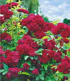 """Rambler-Rose """"Chevy Chase"""",1 Pflanze im Mein Schöner Garten Shop:"""