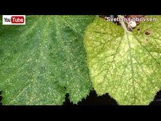 ПАУТИННЫЙ КЛЕЩ НА ОГУРЦАХ - КАК ЛЕГКО ИЗБАВИТЬСЯ . Я ВСЕГДА ИСПОЛЬЗУЮ ЭФФЕКТИВНЫЕ БИОПРЕПАРАТЫ - YouTube Plant Leaves, Youtube, Plants, Flora, Plant, Youtube Movies, Planting