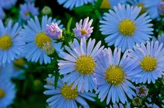 Aster Flower Covered In Early Morning Dew - FlowerPictures.us