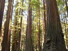 The giant redwoods in Humboldt County California.  Photo courtesy Best Western Country Inn Fortuna.  http://bwcountryinnfortuna.com/