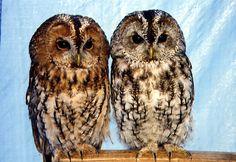 Tawny Owls Pinned by www.myowlbarn.com