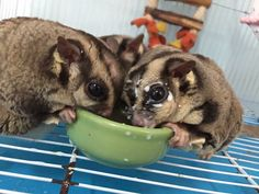 So funny and cute. Sugar Glider by Hachi Family