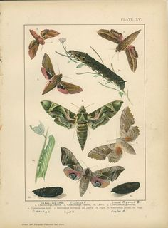 Antique Butterfly Print, Brazil, Silver Striped Hawk Moth, Pl 15, 1895, Lepidoptera, Natural History, Kirby, Kappel, Deuchert, Slocombe by MarcadeVintagePrints on Etsy https://www.etsy.com/listing/208970726/antique-butterfly-print-brazil-silver