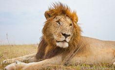 BeetleCam Lion, Burrard-Lucas