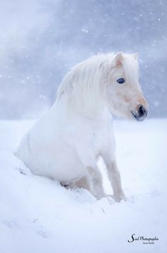White fuzzy pony sitting in the snow. So cute!