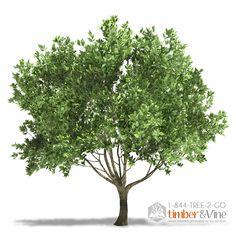 Arbequina Olive Tree   timberandvine