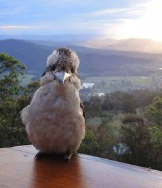 Kookaburra selfie u2764ufe0f http://harunyahya.com
