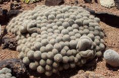 Mammillaria geminispina. Twin spined cactus. Central Mexico native. Ball/clumping shape.