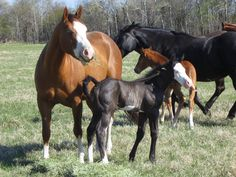 2012 black overo colt 9 days old