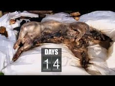 Time Lapse Pig Decomposition - Secrets of Everything - Brit Lab - BBC - YouTube