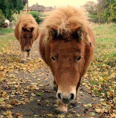 Shetland Ponies by PhotographyisArt123.deviantart.com
