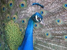 Peacock, Close Up, Plumage, Bird Good Morning Nature, Good Morning Beautiful Images, Good Morning Good Night, Good Morning Wishes, Beautiful Birds, Good Morning Posters, Happy Morning Quotes, Peacock Images, Peacock Photos