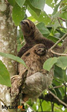 Mom and baby 3 toed sloth in Uvita, Costa Rica. Find out where to see sloths in Costa Rica here: http://mytanfeet.com/costa-rica-wildlife-and-nature/where-to-see-sloths-in-costa-rica-wildlife-nature/
