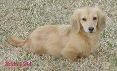 English cream dachshund love it Golden Dachshund, English Cream Dachshund, Mini Dachshund, Daschund, Long Haired Miniature Dachshund, Long Haired Dachshund, Miniature Dachshunds, Puppies And Kitties, Baby Puppies