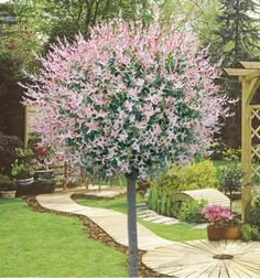 21 Trendy Ideas For Colorful Tree To Plant Perennials Colorful Trees, Small Trees, Terrace Garden, Garden Trees, Trees And Shrubs, Trees To Plant, Back Gardens, Outdoor Gardens, Specimen Trees