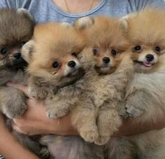 An armful of adorable! #pomeranian